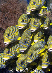 school of tightly packed sweetlips
